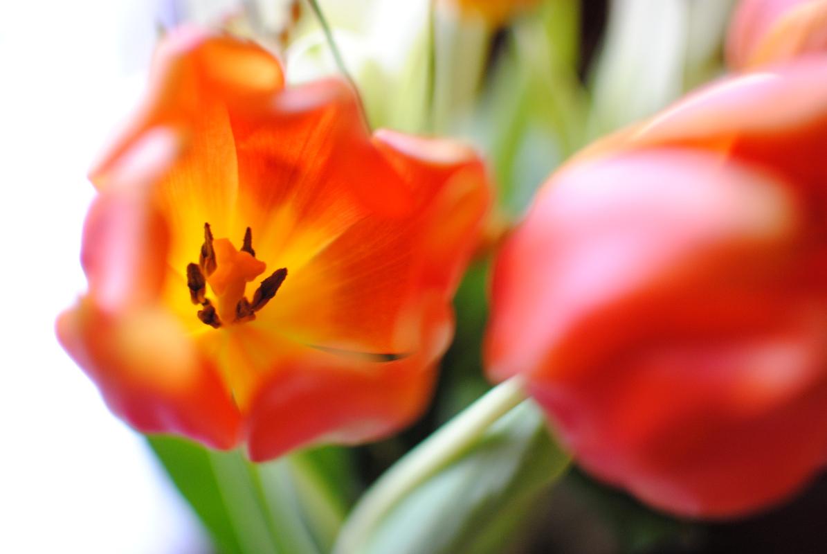 tulipes_oranges_2