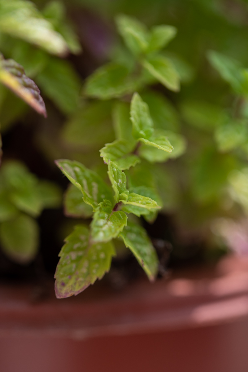 Mes plantes aromatiques : menthe