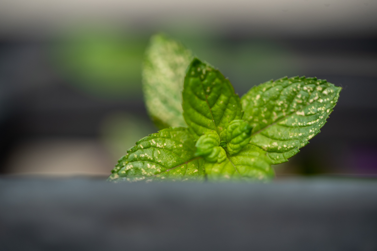 Mes plantes aromatiques : menthe chocolat
