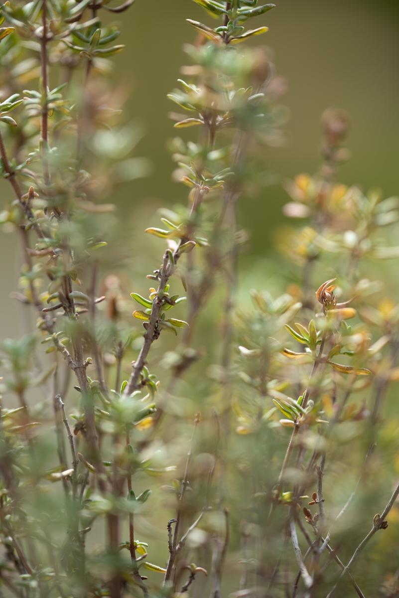 Mes plantes aromatiques : thym