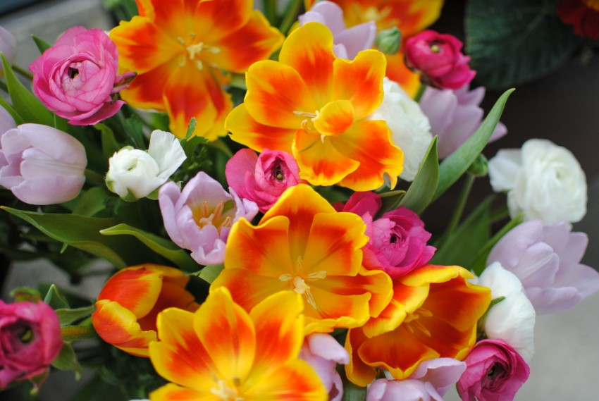 tulipes renoncules