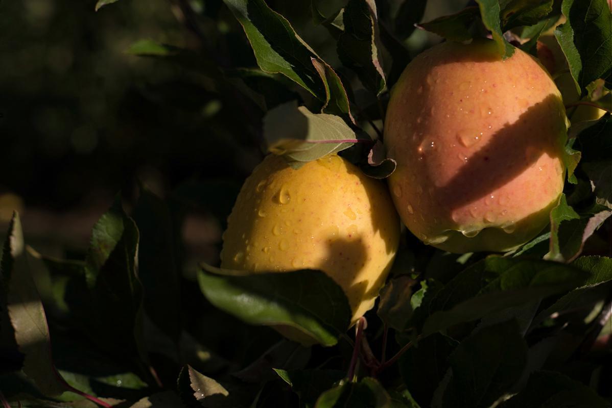 pomme-tentation-verger-4
