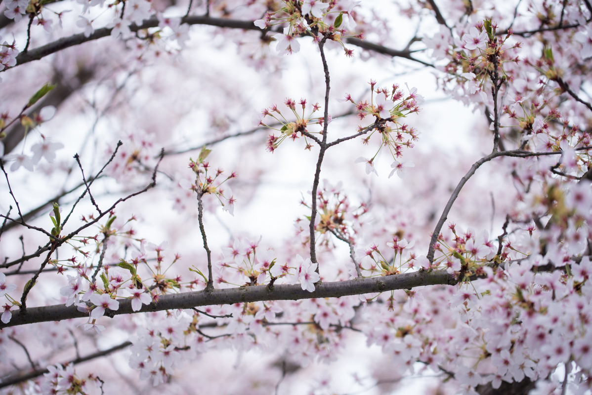 Cerisiers en fleur à Paris