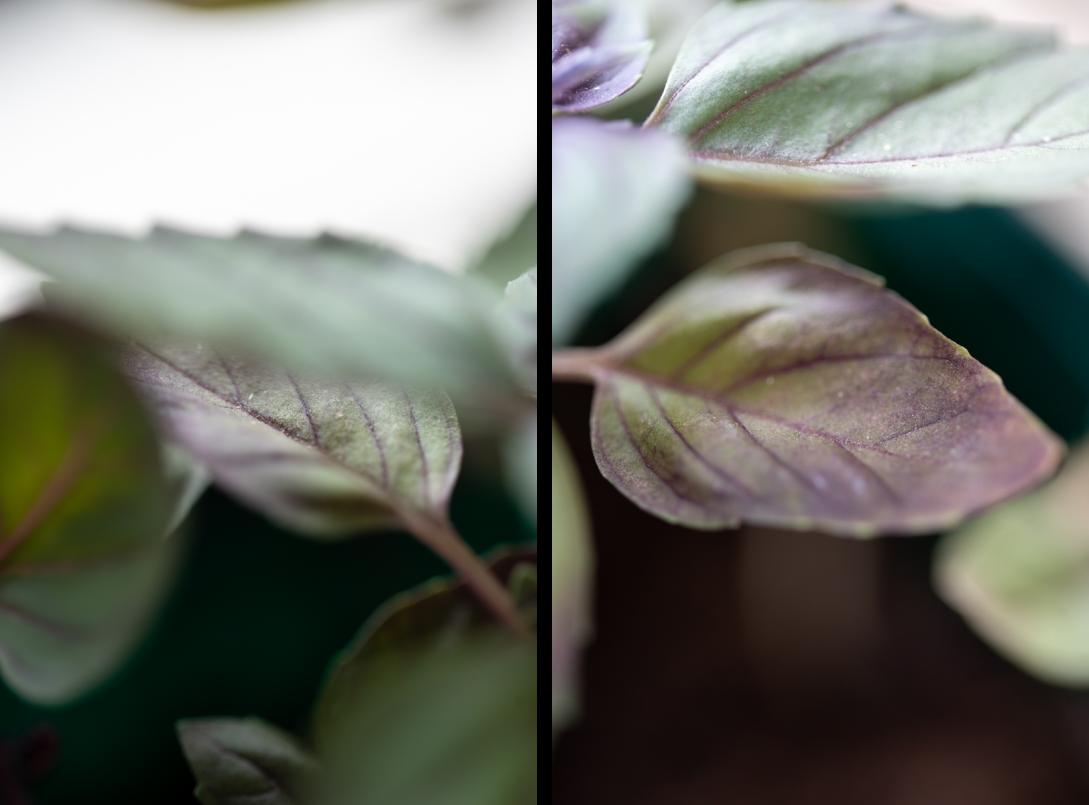 Mes plantes aromatiques : basilic pourpre