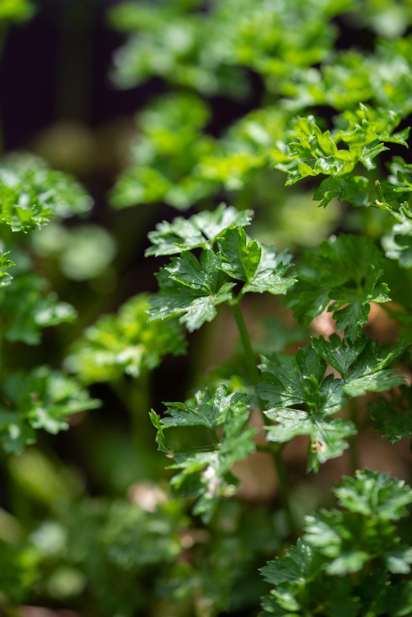 Mes plantes aromatiques : persil